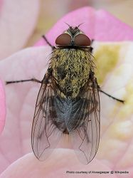 Phil Bendle Collection:Fly (Cluster) Pollenia rudis