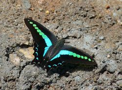 Phil Bendle Collection:Blue triangle butterfly (Graphium sarpedon)