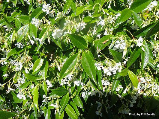 1-Confederate Jasmine Trachelospermum jasminoides -001.JPG