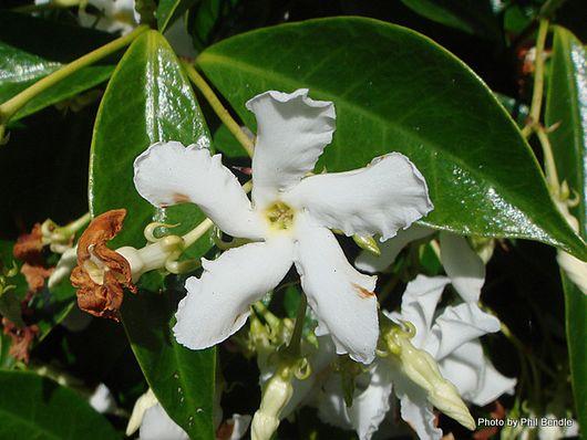1-Confederate Jasmine Trachelospermum jasminoides -007.JPG