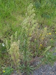 Phil Bendle Collection:Conyza bonariensis (Wavy-leaved Fleabane)