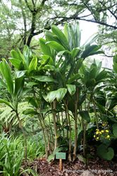 Phil Bendle Collection:Cordyline fruticosa (Cabbage Palm)