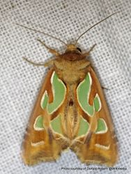 Phil Bendle Collection:Cosmodes elegans (Green blotched moth)