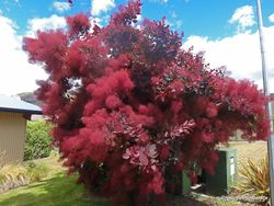 Phil Bendle Collection:Cotinus coggygria (Smokebush)