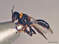 Phil Bendle Collection:Wasp (Solitary) Family Crabronidae