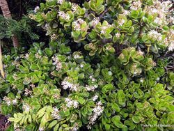 Phil Bendle Collection:Crassula ovata (Jade plant)