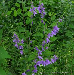 Phil Bendle Collection:Campanula rapunculoides (Creeping bellflower)