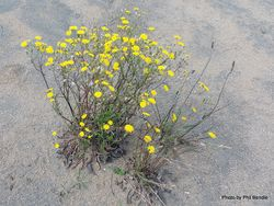 Phil Bendle Collection:Crepis capillaris (Hawksbeard)