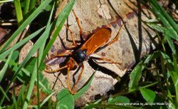 Phil Bendle Collection:Wasp (Golden spider wasp) Cryptocheilus australis