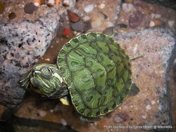 Phil Bendle Collection:Turtle (Cumberland) Trachemys scripta troostii