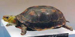 Phil Bendle Collection:Turtle (Chinese Box) Cuora flavomarginata