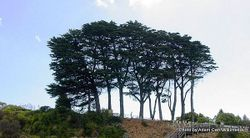 Phil Bendle Collection:Hesperocyparis macrocarpa (Macrocarpa)