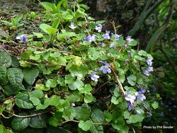 Phil Bendle Collection:Cymbalaria muralis (Ivy leaved toadflax)