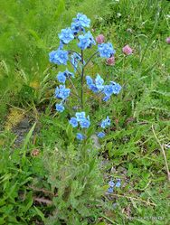 Phil Bendle Collection:Cynoglossum amabile (Chinese forget-me-not)