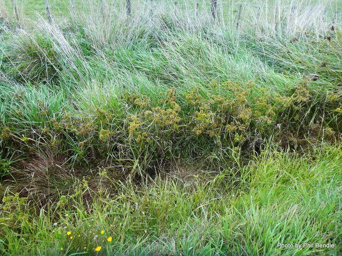 1-Cyperus eragrostis Umbrella Sedge.JPG