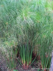 Phil Bendle Collection:Cyperus papyrus (Papyrus)