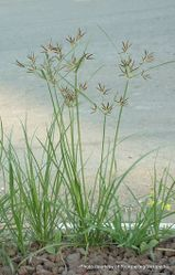 Phil Bendle Collection:Cyperus rotundus (Purple nutsedge)