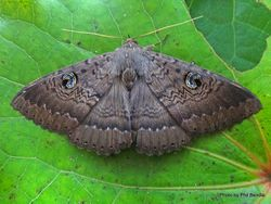 Phil Bendle Collection:Dasypodia cymatodes (Northern Wattle moth)