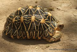 Phil Bendle Collection:Tortoise (Indian star) Geochelone elegans