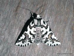 Phil Bendle Collection:Declana atronivea (North Island Lichen moth)