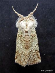 Phil Bendle Collection:Declana niveata (Forest semilooper moth)