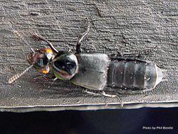Phil Bendle Collection:Beetle (Devil s coachhorse) Creophilus oculatus