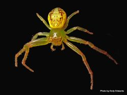 Phil Bendle Collection:Crab Spider (Diaea ambara)