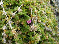 Phil Bendle Collection:Disphyma papillatum (Chatham Island ice plant)