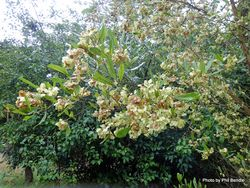 Phil Bendle Collection:Dodonaea viscosa (Akeake)