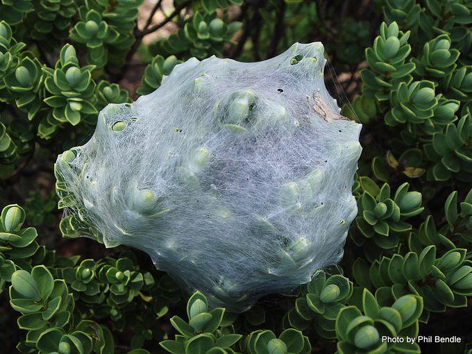 1-Dolomedes minor web nest.JPG