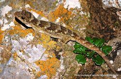 Phil Bendle Collection:Gecko (Duvaucel s) Hoplodactylus duvauceli