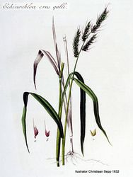 Phil Bendle Collection:Echinochloa crus-galli (Barnyard grass)