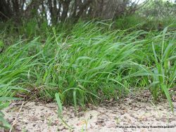 Phil Bendle Collection:Ehrharta erecta (Panic Veldt grass)