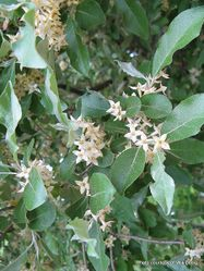 Phil Bendle Collection:Elaeagnus umbellate (Autumn olive)