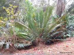 Phil Bendle Collection:Encephalartos natalensis x woodii (Cycad hybrid)