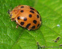 Phil Bendle Collection:Ladybird (Hadda Beetle) Henosepilachna vigintioctopunctata