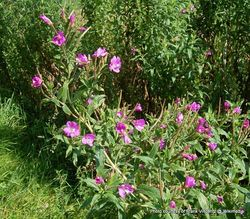 Phil Bendle Collection:Epilobium hirsutum (Great willowherb)