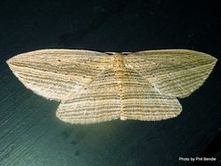 Phil Bendle Collection:Epiphryne verriculata (Cabbage tree moth)