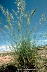 Phil Bendle Collection:Eragrostis curvula (Weeping love grass)
