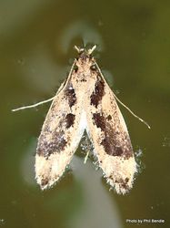 Phil Bendle Collection:Erechthias capnitis (Fungus moth) Family Tineidae