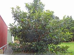 Phil Bendle Collection:Eriobotrya japonica (Loquat)
