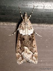Phil Bendle Collection:Eudonia submarginalis (Sod Webworm moth)