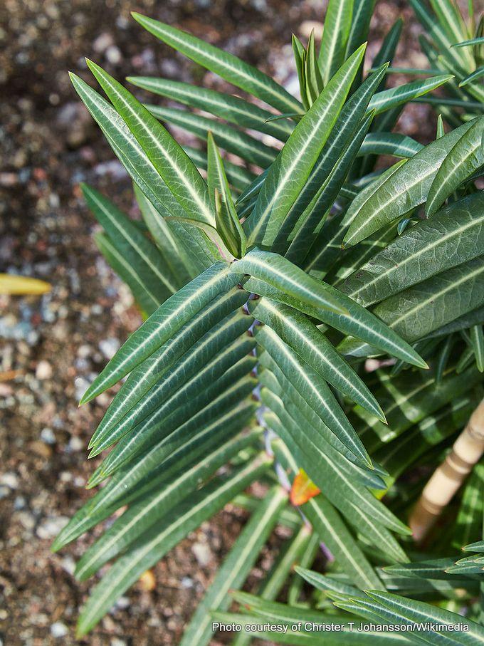 1-Euphorbia lathyris-001.jpg