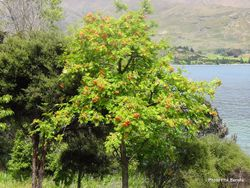 Phil Bendle Collection:Sorbus aucuparia (Rowan)
