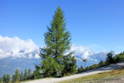Phil Bendle Collection:Larix decidua (European larch)