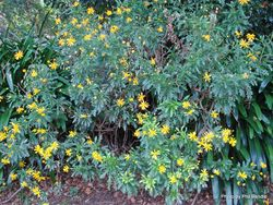 Phil Bendle Collection:Euryops chrysanthemoides (African bush daisy)