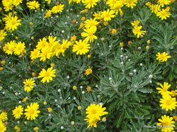 Phil Bendle Collection:Euryops pectinatus (Golden daisy bush)