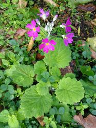 Phil Bendle Collection:Primula malacoides (Fairy primula)