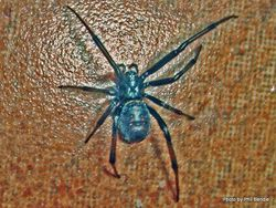 Phil Bendle Collection:False widows spider (Steatoda) Unidentified species 2