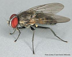 Phil Bendle Collection:Fly (House) Lesser (Fannia canicularis)
